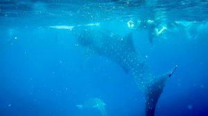 與鯨鯊悠遊其中